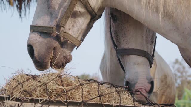 曇った青空の下で干し草を食べる低角のスローモ馬 - 干し草点の映像素材/bロール