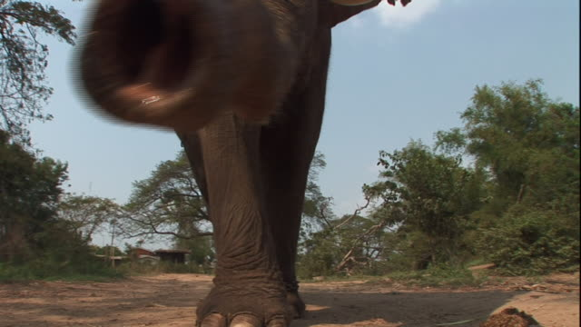 Low Angle static - An elephant steps forward and lifts its trunk. / Thailand