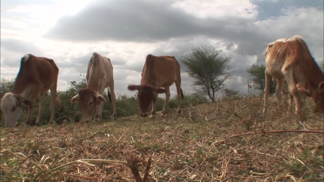 Low Angle static - Cows graze on grass in Ethiopia. / Ethiopia