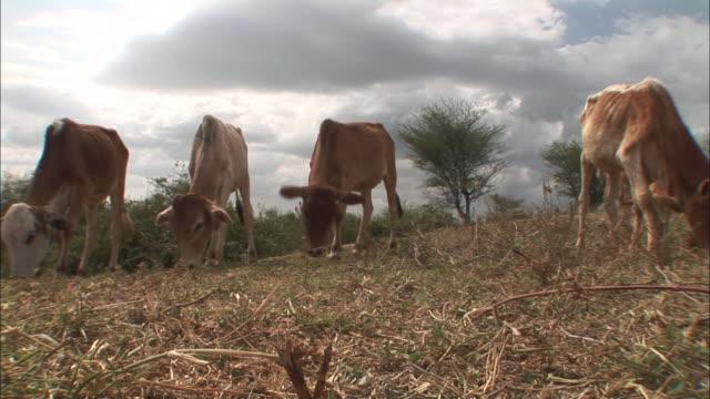 low angle static - cows graze on grass in ethiopia. / ethiopia - エチオピア点の映像素材/bロール