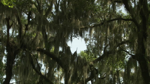 low angle static - moss hangs from trees around the okefenokee swamp in florida. / florida, usa - okefenokee national wildlife refuge stock videos and b-roll footage