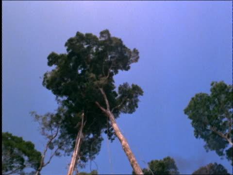 vídeos y material grabado en eventos de stock de low angle tilt down of trees falling in forest (deforestation) / brazil - industria forestal