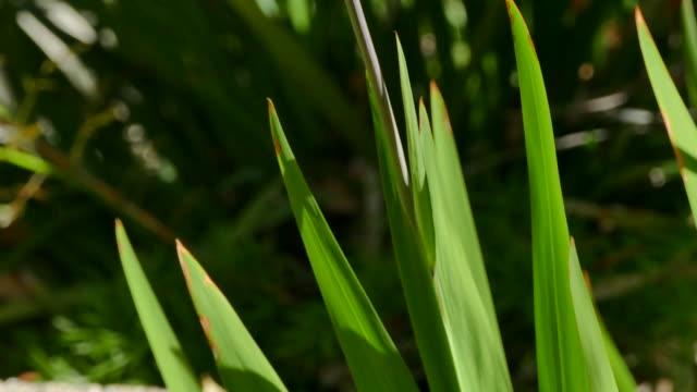 4k low angle tilt up chasmanthe floribunda plant to orange flowers - plant bulb stock videos & royalty-free footage