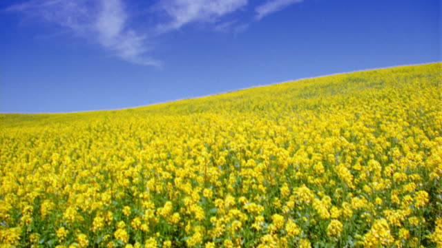 low angle tilt up PAN from yellow wildflowers to field of flowers on hill / Napa Valley, California