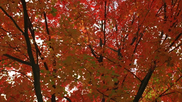 low angle tilt up leaves of trees in fall / new jersey - orange new jersey stock videos & royalty-free footage