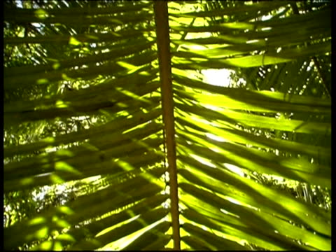 ms low angle tilting down large frond-like leaf, backlit by sun, seychelles - frond stock videos & royalty-free footage