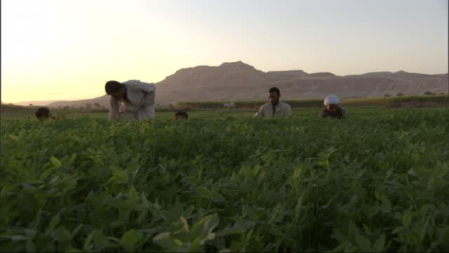 Low Angle, tilt-up - Farmhands harvest a crop / Egypt