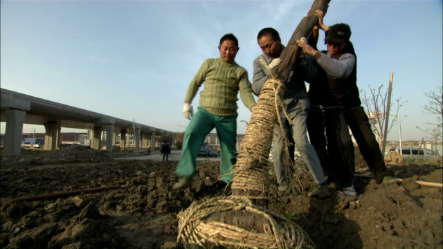 Low Angle tilt-up - Landscapers struggle as they plant a tree at a Hongqiao Airport construction site./Shanghai, China