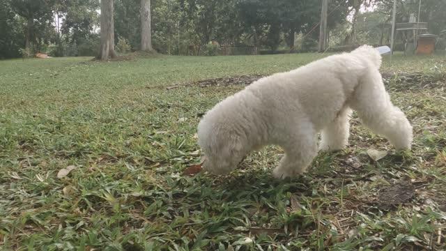 朝の好奇心の中でキャンプ場の周りを嗅ぐ低角のおもちゃプードルペットの犬 - 突き出た鼻点の映像素材/bロール