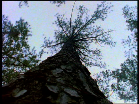 low angle tracking shot falling tree hitting forest floor - pinacee video stock e b–roll
