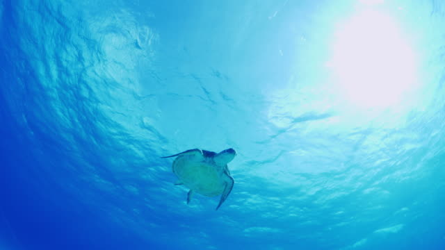 low angle tracking shot of turtle swimming in ocean / cozumel, quintana roo, mexico - cozumel stock videos and b-roll footage