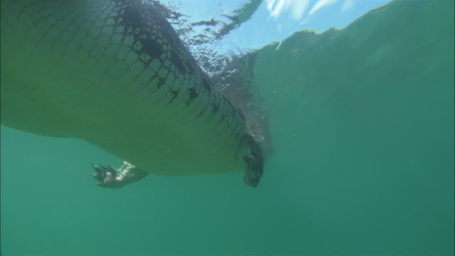 Low Angle tracking-left tracking-right - A crocodile swims past point of view underwater / Australia