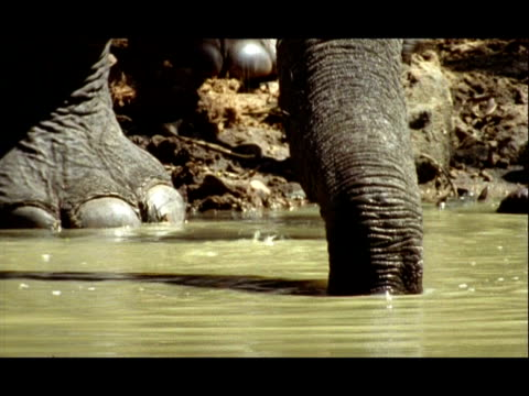 BCU Low angle, Trunk of Asian Elephant (Elephas maximus) drinking at waterhole, India