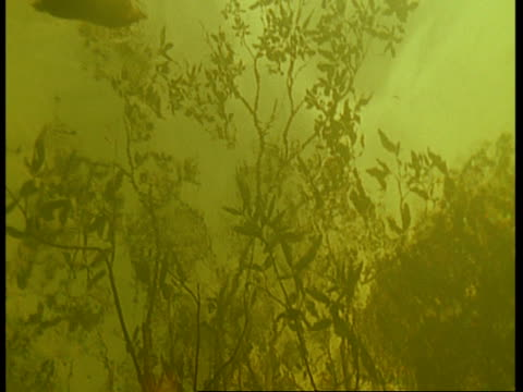 MS low angle, underwater view of flooded forest, Armadillo paddles along surface, Amazon, South America