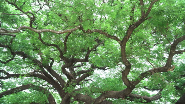 low angle view and panning view of green tree leaves and branch tree under cloudy. concept of green color spring time and enviroment. - twig stock videos & royalty-free footage