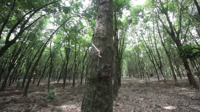 low angle view looking up at rubber tree canopy tilt down to latex being collected in a cup at a plantation adjacent to the company's factory in... - ゴム点の映像素材/bロール