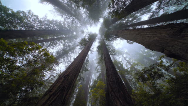 low angle view looking up pov redwood forest, redwood national park, california - 自然の景観点の映像素材/bロール