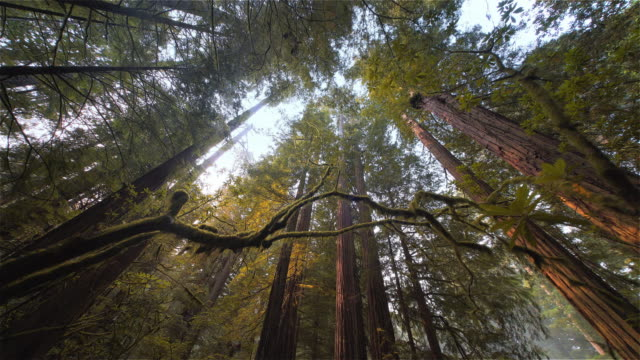 vídeos de stock e filmes b-roll de low angle view looking up pov redwood forest, redwood national park, california - ideas