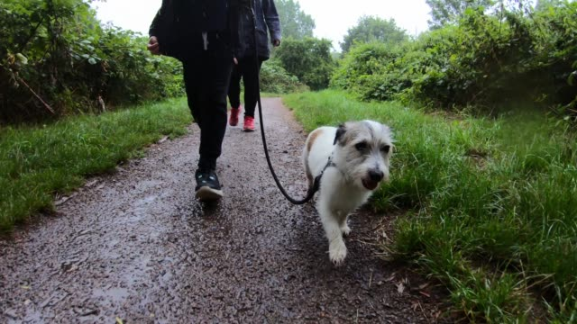 vídeos de stock, filmes e b-roll de low angle view of a small dog leading the way on a walk in a park in the rain - adulto de idade mediana