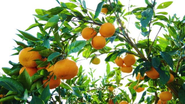 vidéos et rushes de vue à angle bas d'un arbre de mandarine - orange fruit