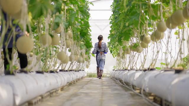 ビーガンと健康的な食事とライフスタイルのための販売に農業農場の中小企業として温室で水耕栽培農場のハイテクにメロンを収穫するために果物農場を歩いて戻ってアジアの女性若い農家� - グリーンハウス点の映像素材/bロール