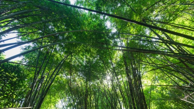 low angle view of bamboo leaves sway in the wind in forest, time lapse video - lucky bamboo stock videos and b-roll footage