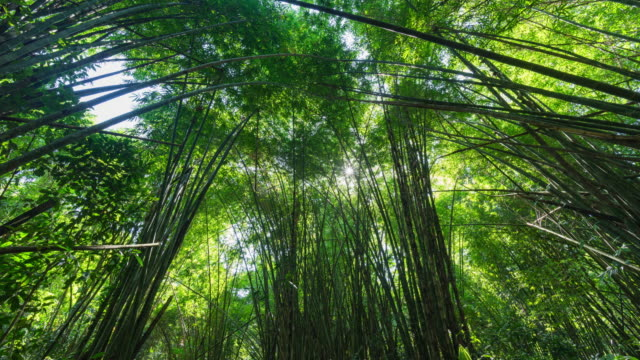 low angle view of bamboo leaves sway in the wind in forest, time lapse video - bamboo plant stock videos & royalty-free footage