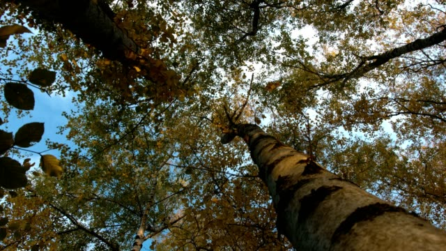 Low angle view of birch trees forest in autumn with big trunk on the right side of the image