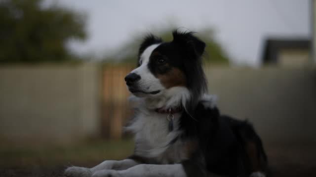stockvideo's en b-roll-footage met low angle view of border collie in backyard - australische herder