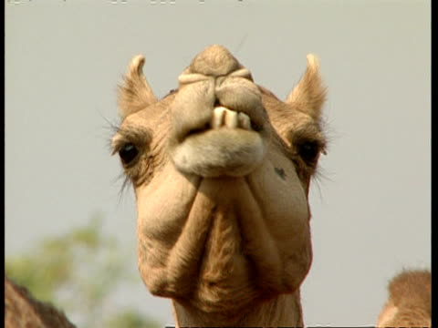 cu low angle view of camel chewing the cud - parte del corpo animale video stock e b–roll