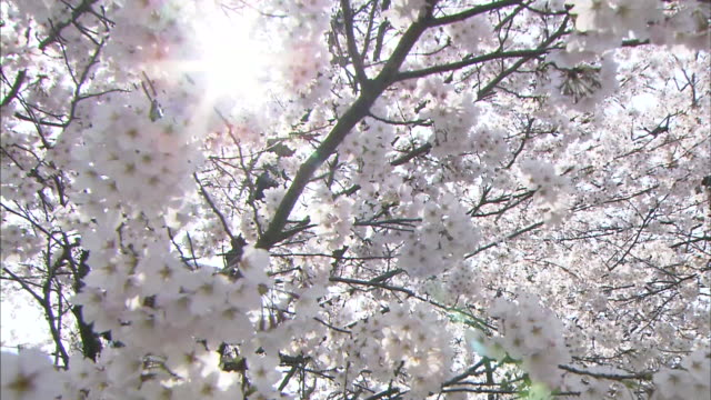 Low angle view of cherry blossoms blooming in Hiroshima Peace Memorial Park Sun shining through cherry blossoms in full bloom