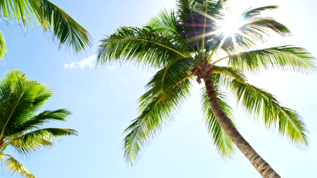 low angle view of coconut palm trees on caribbean beach - tropical tree stock videos & royalty-free footage