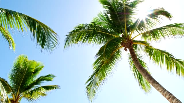 low angle view of coconut palm trees on caribbean beach - inquadratura dal basso video stock e b–roll