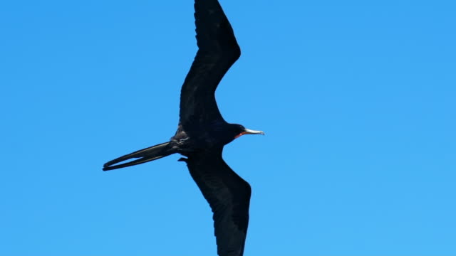 low angle view of cormorants flying against clear blue sky, birds with spread wings in mid-air - belize city, belize - spread wings stock videos & royalty-free footage