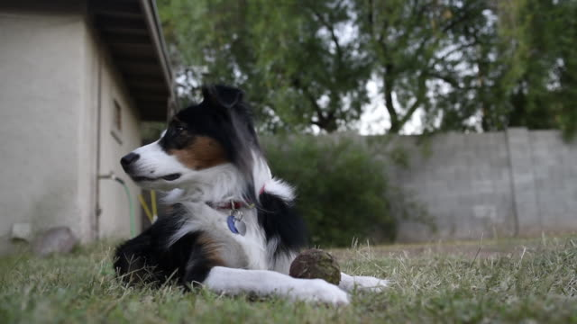 stockvideo's en b-roll-footage met low angle view of dog resting and playing in backyard - australische herder