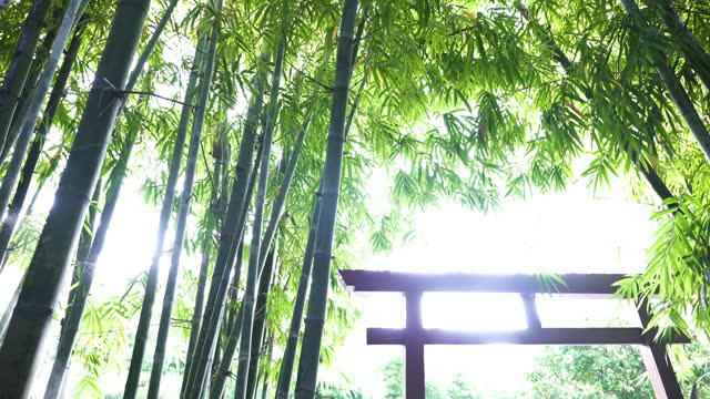 low angle view of green bamboo forest and bright sunlight shining on torii gate. - shrine stock videos & royalty-free footage