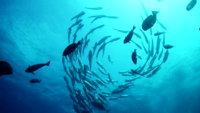 low angle view of large swirling school of fish swimming in open water in slow motion - school of fish stock videos & royalty-free footage