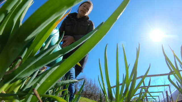 Low Angle View of Mature Woman Watering Welsh Onion