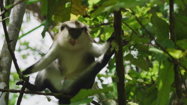stockvideo's en b-roll-footage met low angle view of monkey sitting in tree / grand etang national park, grenada - benen gespreid