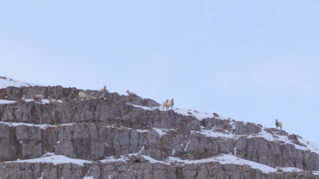 low angle view of mountain goats on snowcapped mountain peak against clear sky - jackson, wyoming - herbivorous stock videos & royalty-free footage