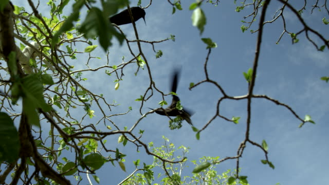 vídeos de stock, filmes e b-roll de low angle view of noddies landing and perching in tree - low angle view