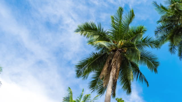 vídeos de stock e filmes b-roll de low angle view of palm tree against blue sky, time lapse video - palmeira