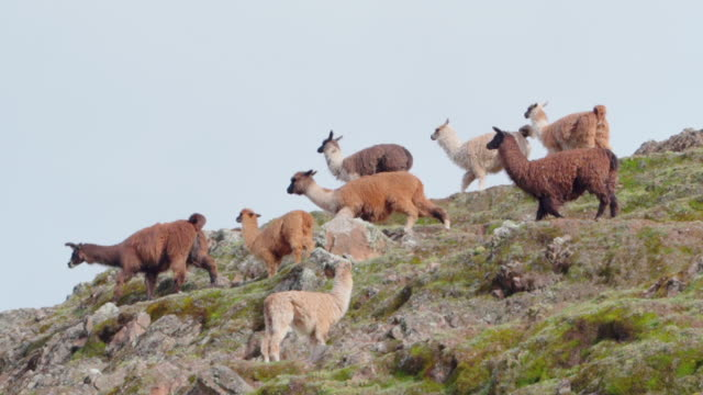 low angle view of panning shot of llamas on mountain against sky, domestic mammals on hills - cusco, peru - 草食性点の映像素材/bロール