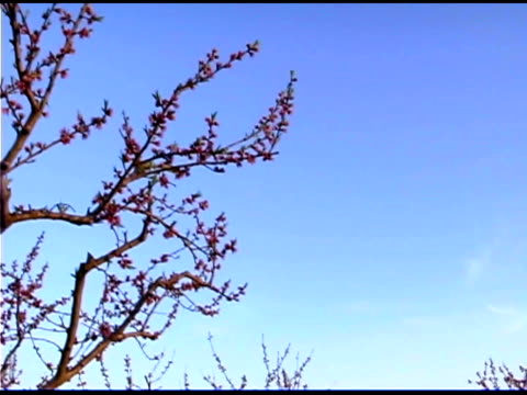 Low angle view of peach trees in orchard