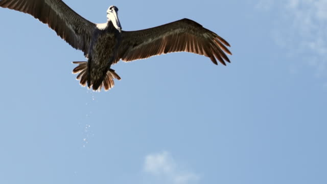low angle view of pelican flying against blue sky, bird with spread wings during sunny day - belize city, belize - spread wings stock videos & royalty-free footage