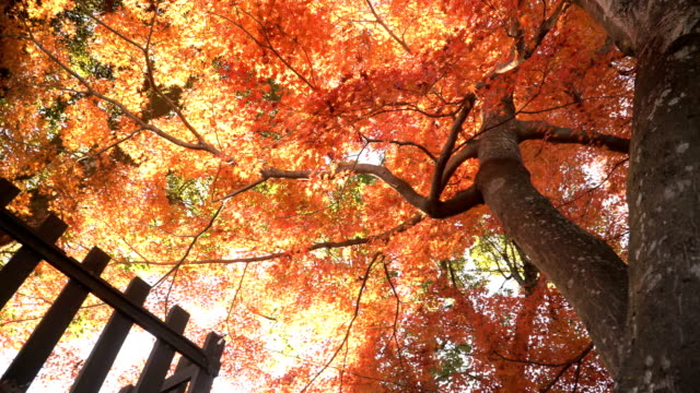 low angle view of red maple trunk tree and green tree in inuyama city - maple leaf stock videos and b-roll footage