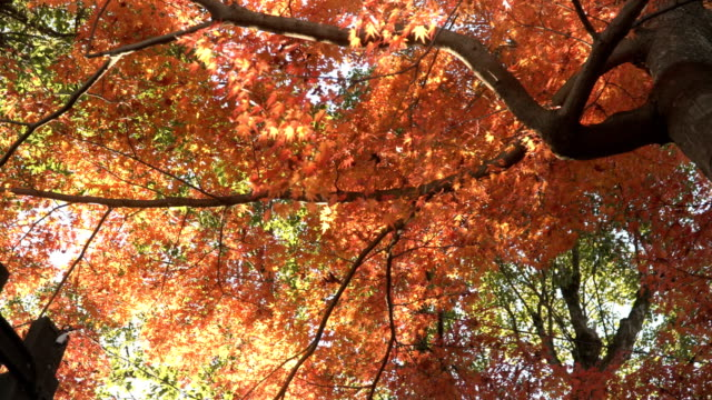 low angle view of red maple trunk tree in inuyama city - maple leaf stock videos and b-roll footage