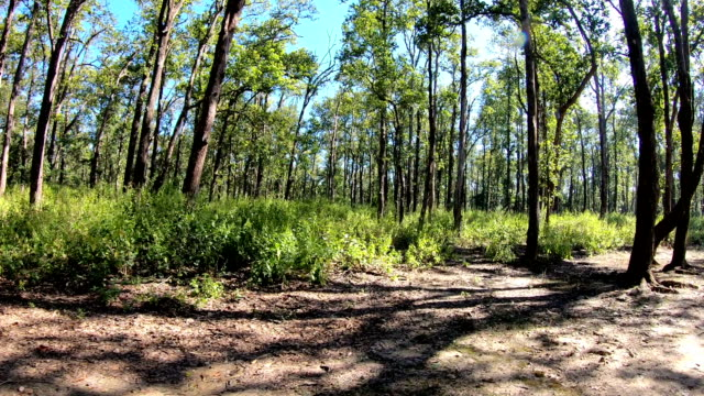 low angle view of saal trees canopy from central indian forest - copertura di alberi video stock e b–roll