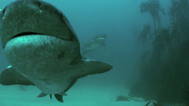 low angle view of two seven gill sharks swimming through the kelp forests of false bay, simonstown, south africa. - gill stock videos and b-roll footage