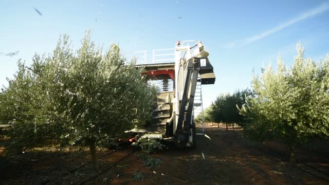 Low angle view olive trees are harvested by a Colossus harvester at a Boundary Bend Ltd olive grove in Boundary Bend Australia on Wednesday Mar 16 A...